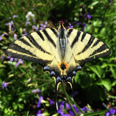 Papillon Le Flambé dans le parc du château de Selles sur Cher