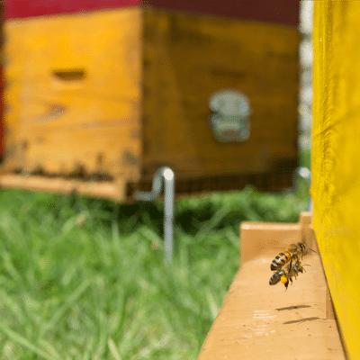 Abeilles en approches pour déposer leur pollen